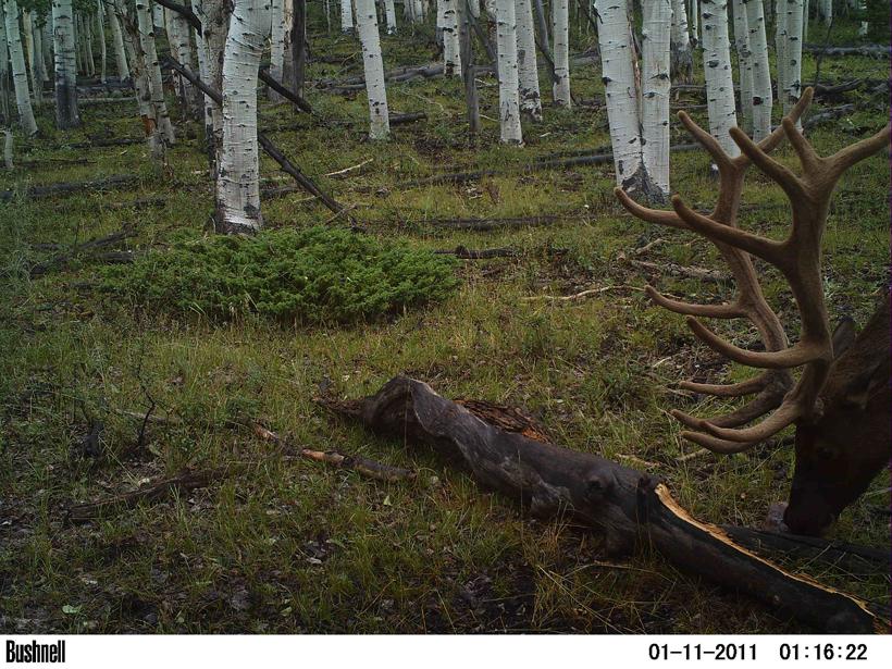 Utah scouting bull elk trail camera photo