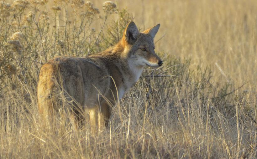 Utah coyote control