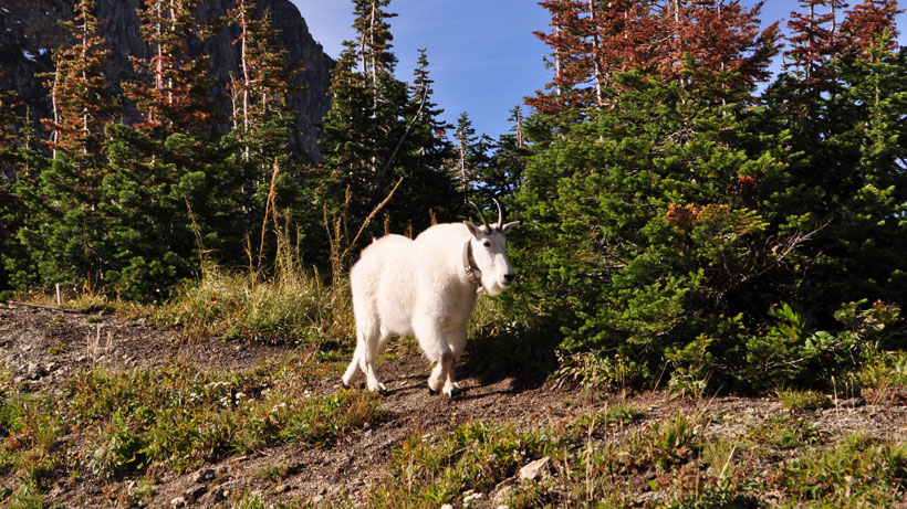 Utah mountain goat