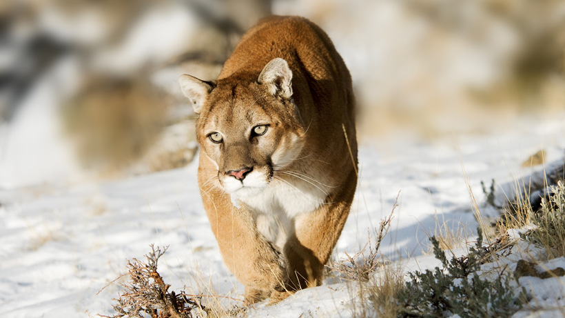 Utah adds more mountain lion opportunity