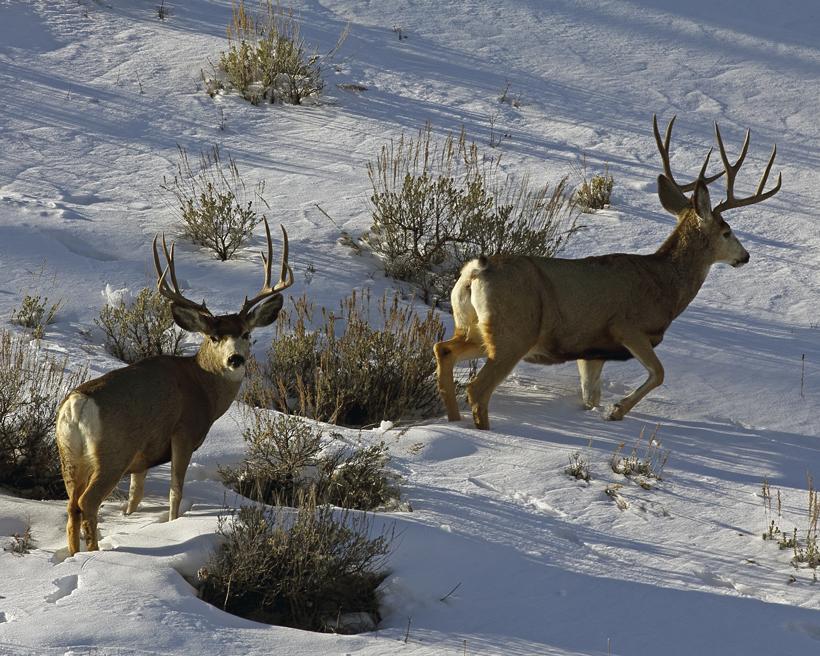 Utah mule deer bucks