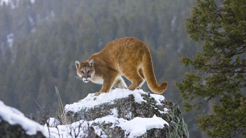 Utah lawmaker proposes bill that would target predator populations to help big game