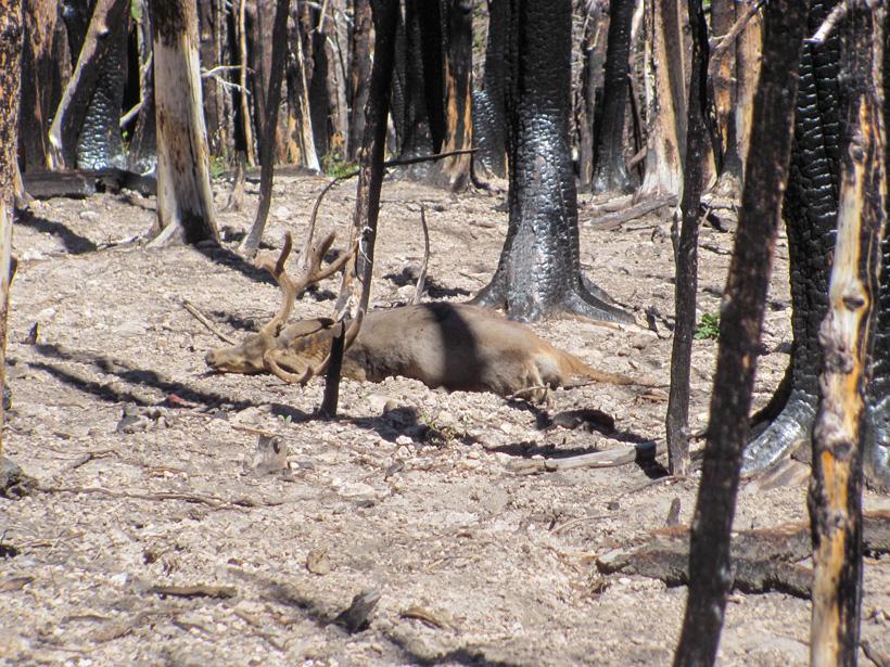Velvet buck in the burnt timber