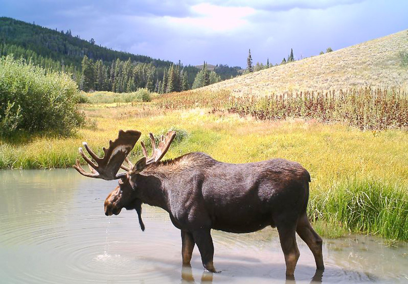 Velvet bull moose photo from Deadline Outfitters in Idaho
