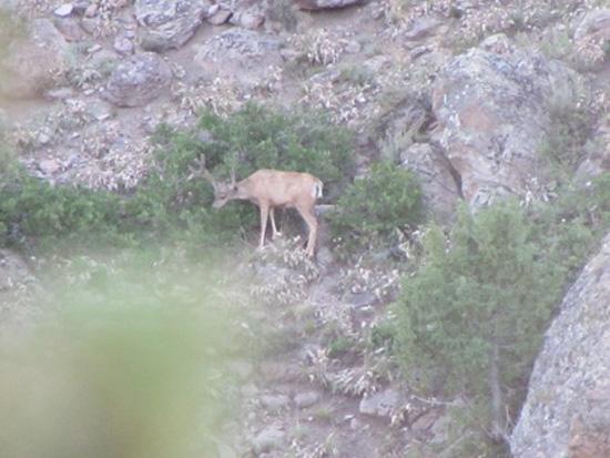 Velvet mule deer buck