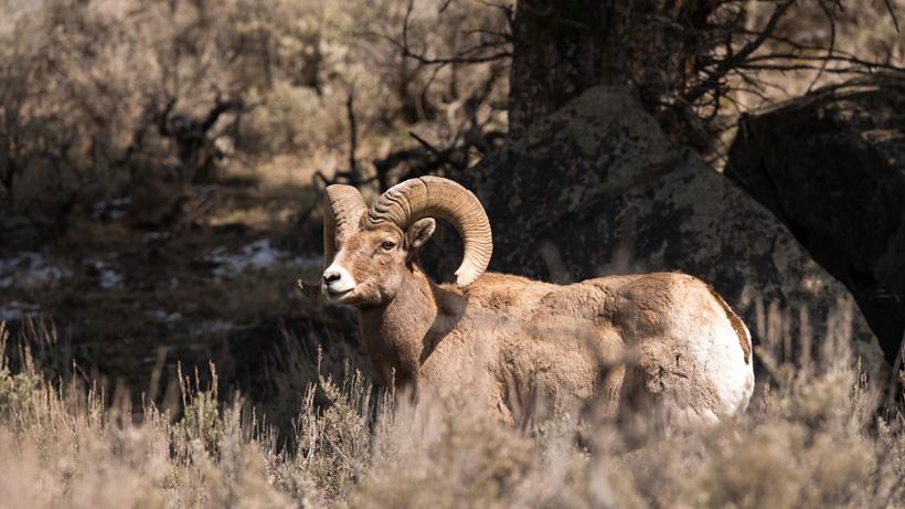 Washington bighorn sheep herd tested for disease