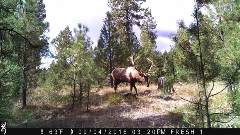 Washington bull elk on trail camera
