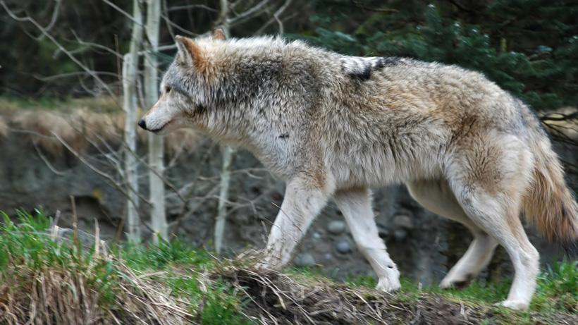 Washington will not shoot problem wolves