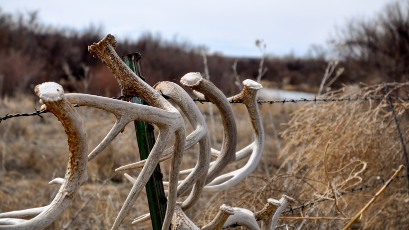 Whitetail buck sheds hanging on fence