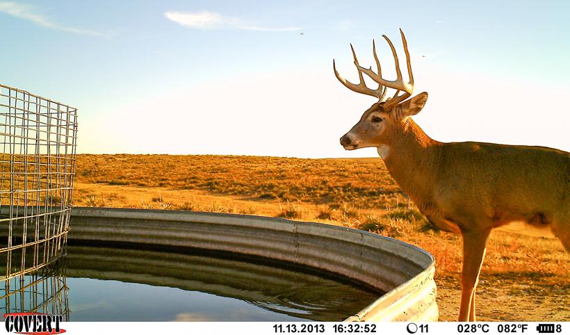 Whitetail trail camera photo