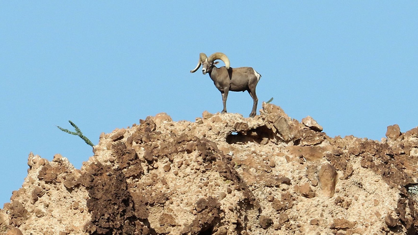 Franks wide flaring desert bighorn sheep 2