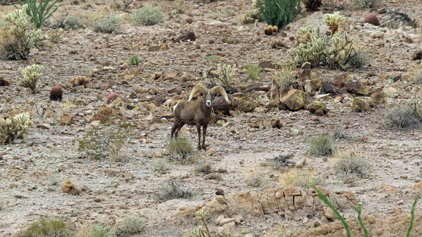 Franks wide flaring horned desert bighorn sheep