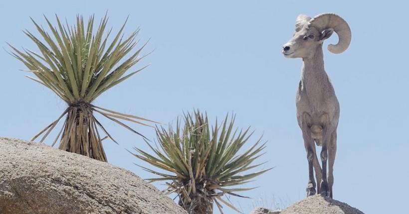 Wild Sheep conservation short film