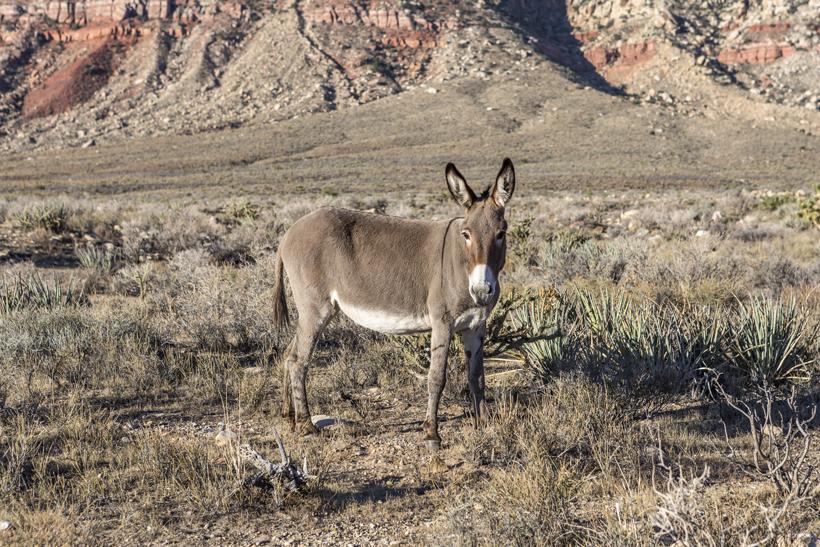 Wild burros impacting wildlife