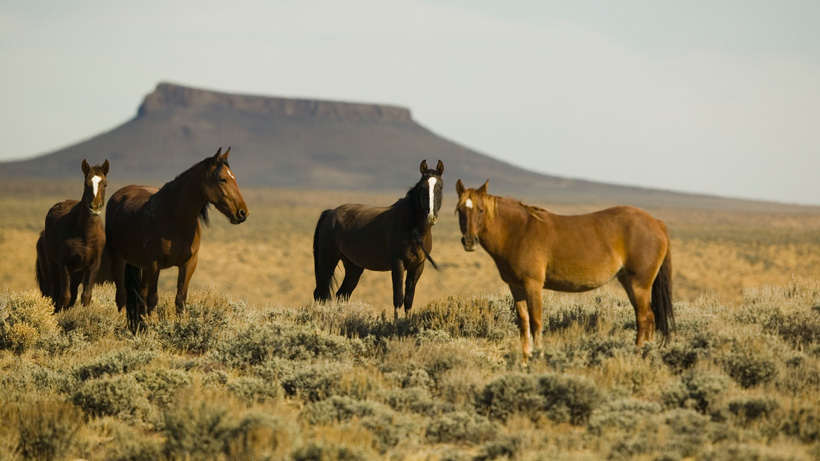 Nevada's wild horse population hits all-time high | goHUNT
