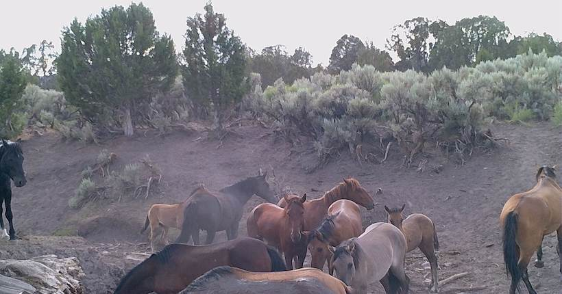 Wild horses on a trail camera