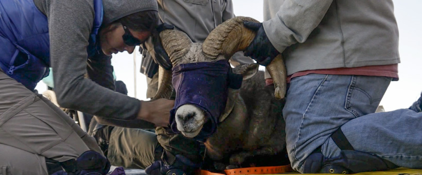 Wild sheep conservation projects