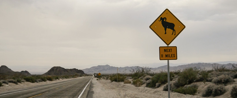 Wild sheep crossing sign
