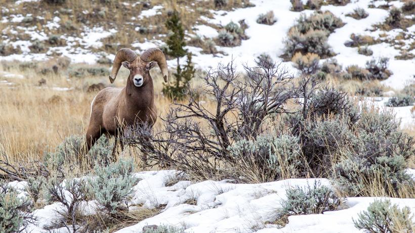 Wildfires a positive deal for Colorado bighorn sheep