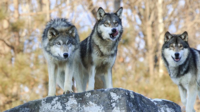 Wisconsin Wolf