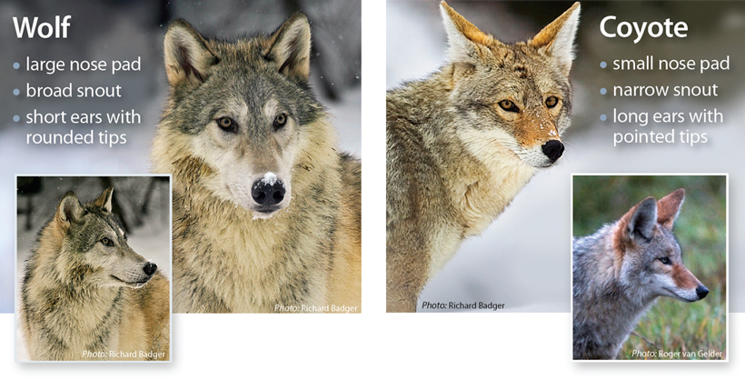 Wolf and coyote difference