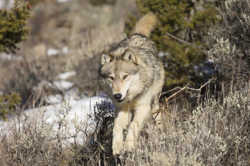Wolf populations in Idaho