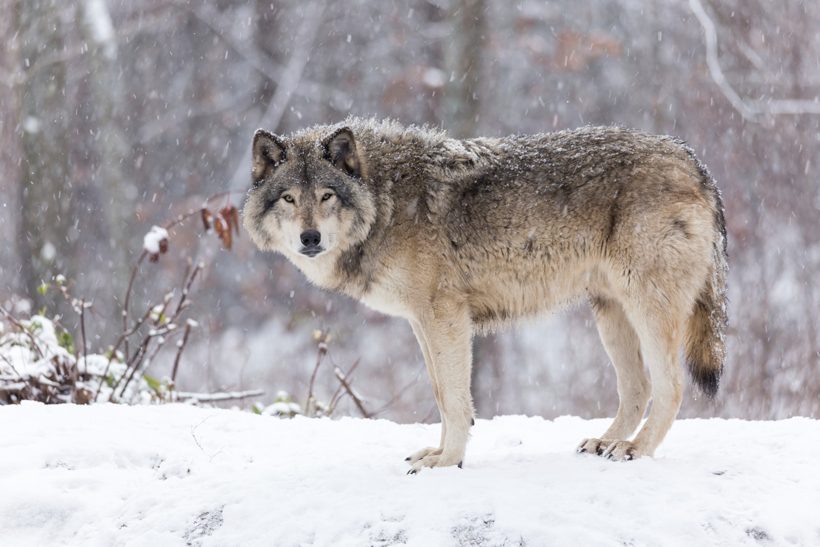 gray wolf and life cycle coyote The gray wolf is similar to the coyote but is larger and more robust life cycle: a diverse and wide the biology of gray wolves is complex and interesting.
