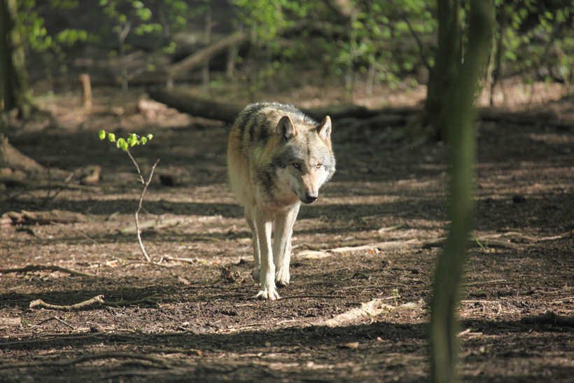 Gray wolf spotted in California