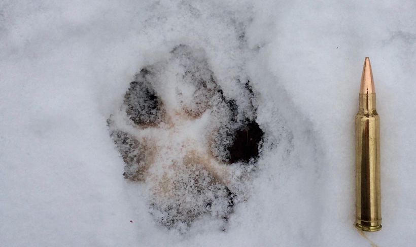 Wolf track in snow from Montana
