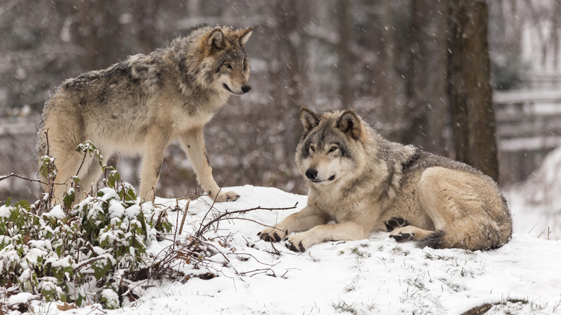 Wolves spotted in Colorado