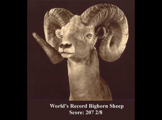 World record bighorn sheep for sale