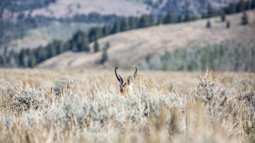 Wyoming antelope bedded in sagebrush