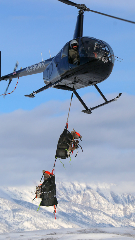 Bighorn sheep capture and collar successful in Wyoming