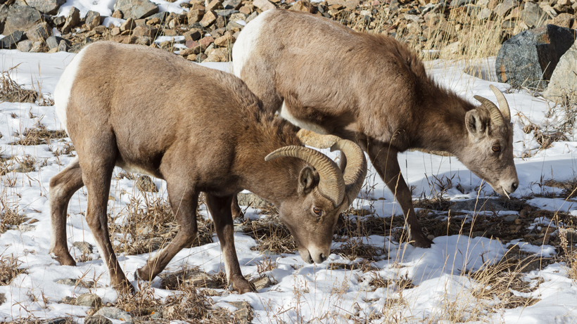 WGFD moves forward with prescribed burn for bighorn sheep