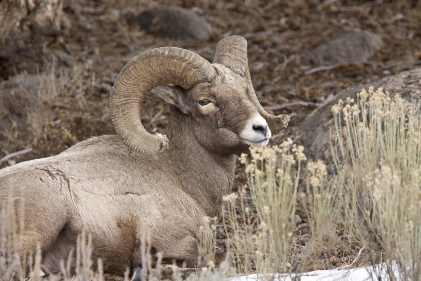 Wyoming bighorn sheep