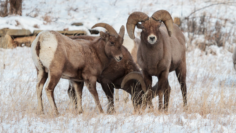 Ferris-Seminoe bighorn sheep herd targeted in Wyoming