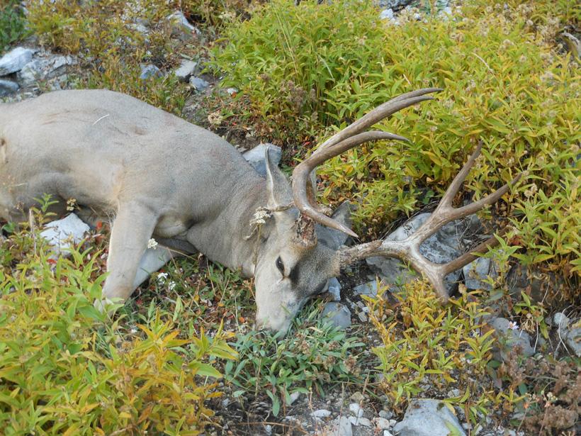 Wyoming mule deer buck on the ground