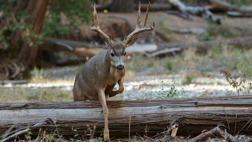 Radio-collared mule deer are re-captured in Wyoming