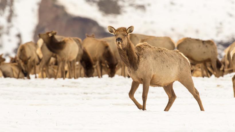 Groups sue to end Wyoming elk feeding program