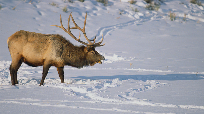 Wyoming elk refuge hunt cwd testing