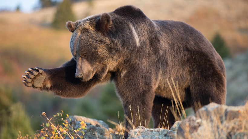 Wyoming grizzly hunt approved for 2018