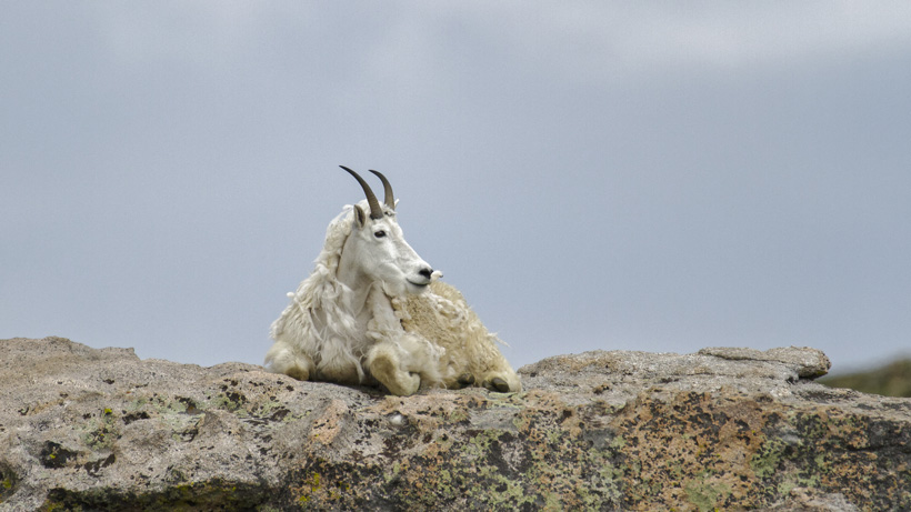 Mountain goat cull halted in Grand Teton