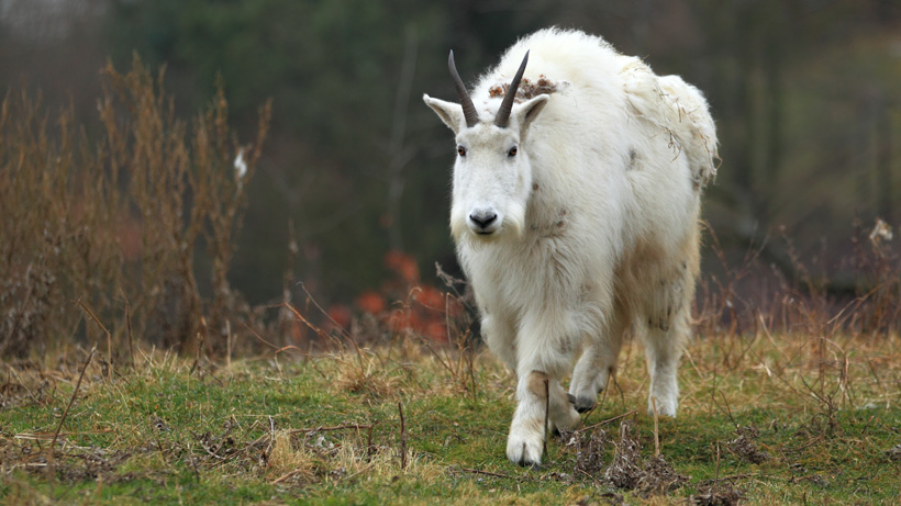 Grand Teton moves forward with mountain goat removal