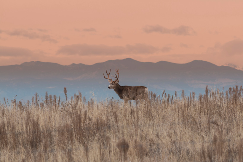 Wyoming mule deer buck