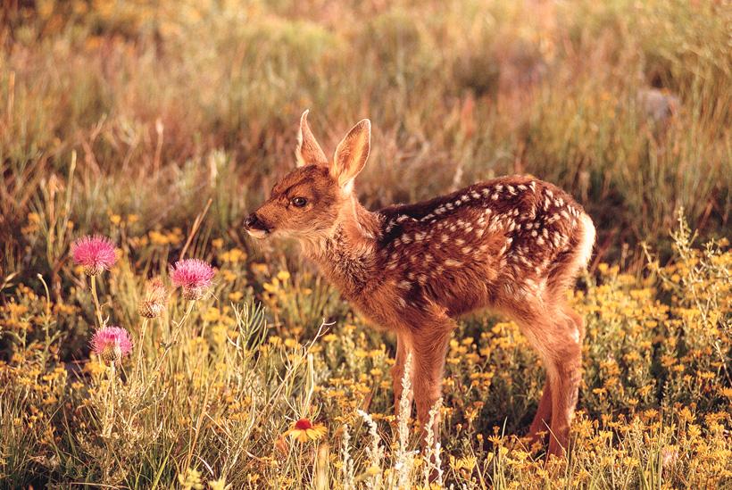 Wyoming mule deer fawn study
