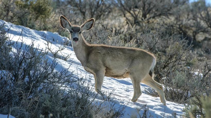 New study identifies challenges of timing mule deer births