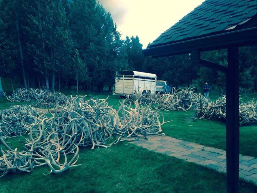 Yard full of shed antlers