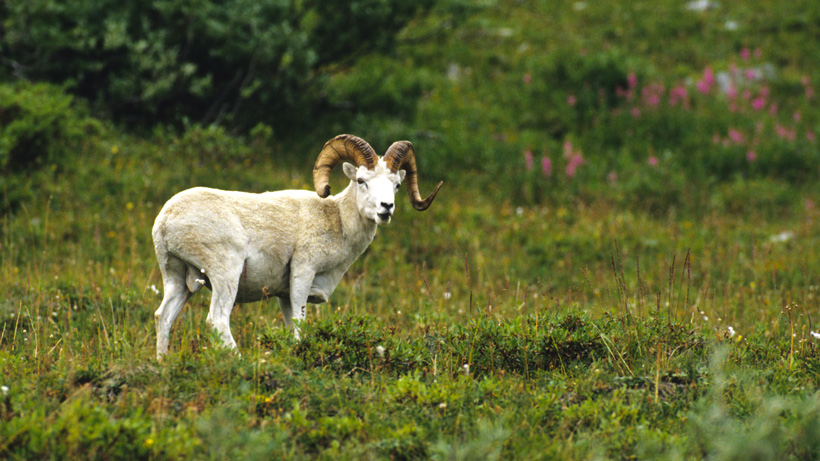 Alaska Dall Sheep