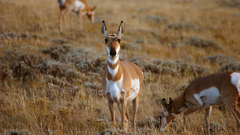 Wyoming proposes antelope hunting changes