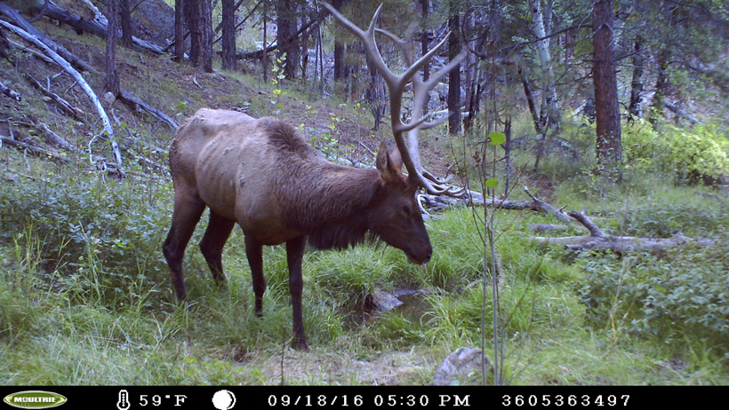 Trail cam picture of the elk I was targeting